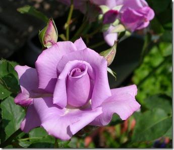 blue-moon-rosales-hibridos-de-te-pimpollos