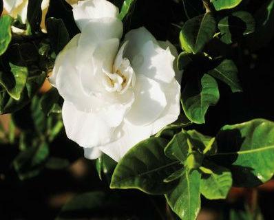 gardenia cuidados de las gardenias