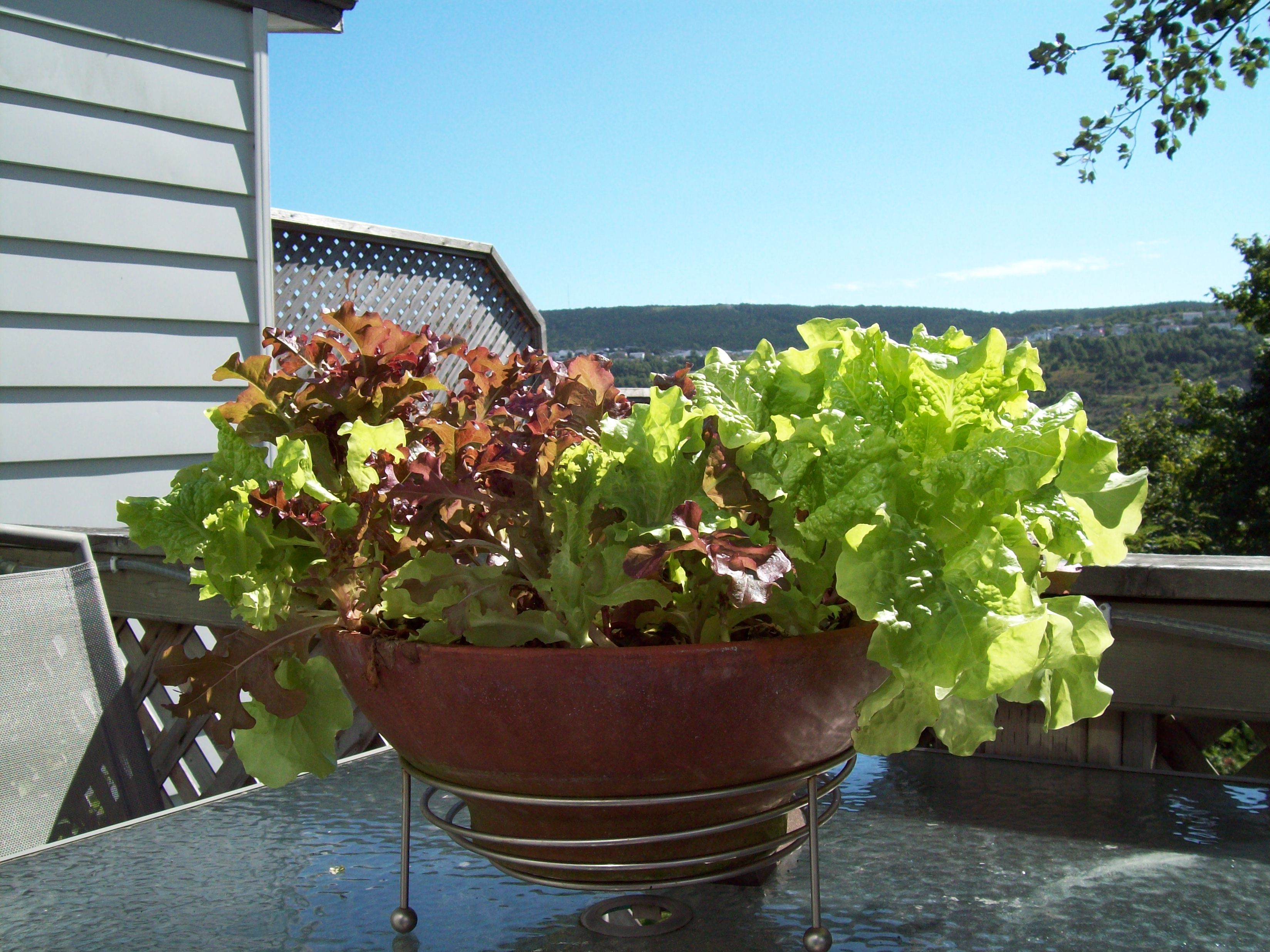 Lettuce-in-a-table-top-container-Costa